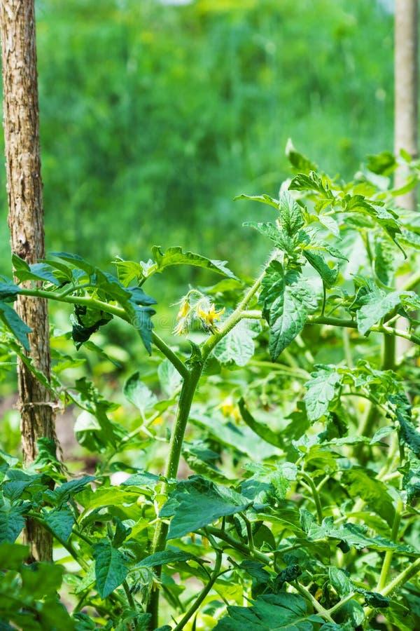 Aanplanting van jonge boompjes van tomaten royalty-vrije stock foto's