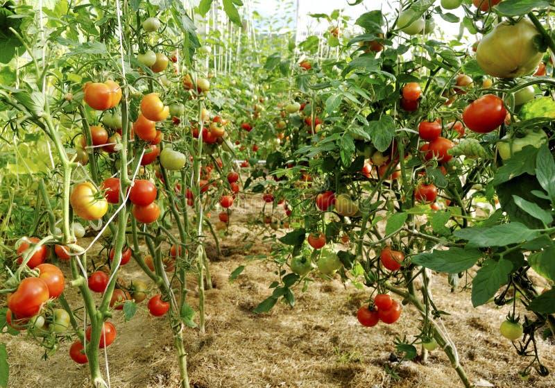Aanplanting van tomaten royalty-vrije stock fotografie