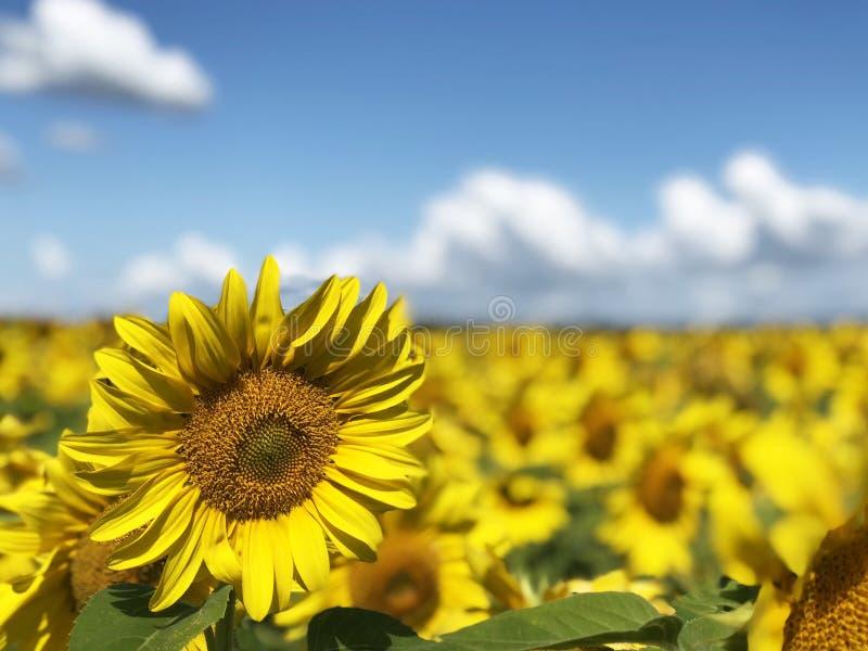 Aanplanting van zonnebloemen tegen de blauwe hemel stock foto