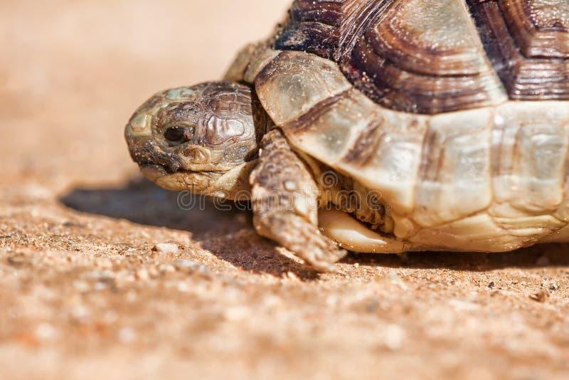 Aansporing-Thighed Schildpad stock foto's
