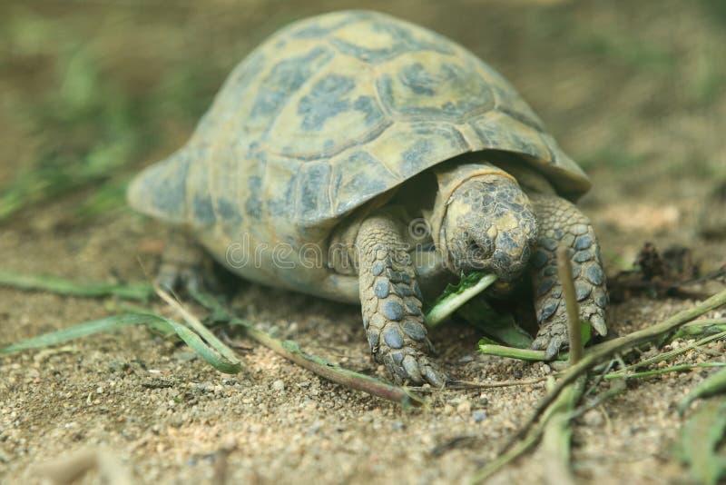 Aansporing-Thighed schildpad stock fotografie