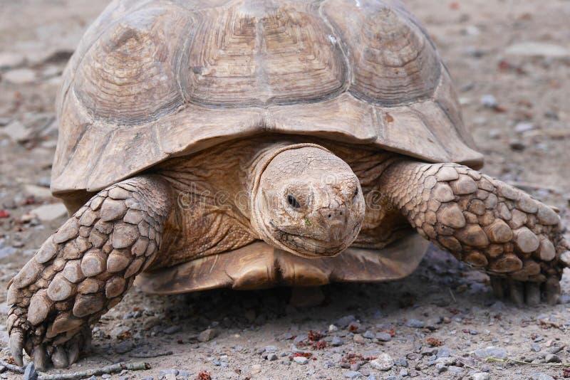 Aansporing-Thighed schildpad stock afbeeldingen