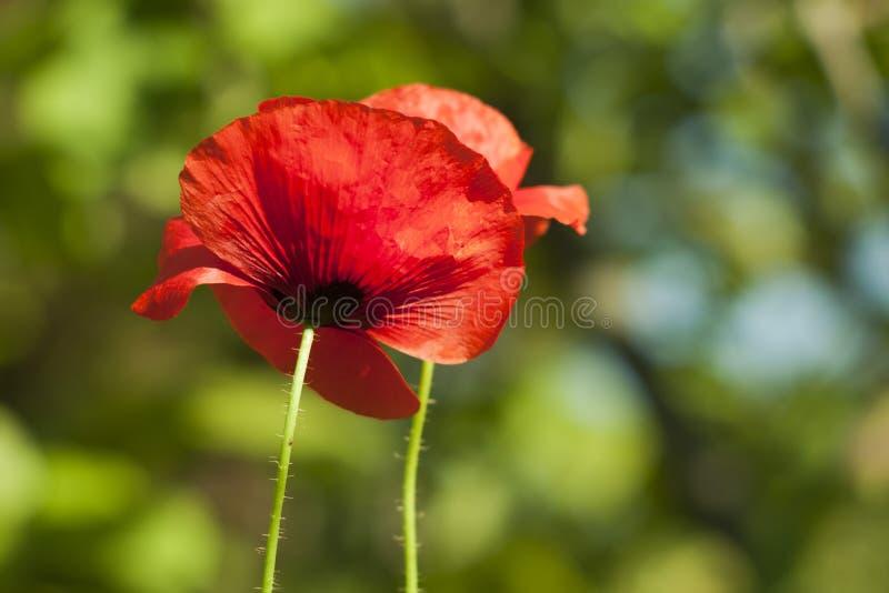 Aantrekkelijk perspectief van een foto van een rode papaverclose-up stock afbeelding
