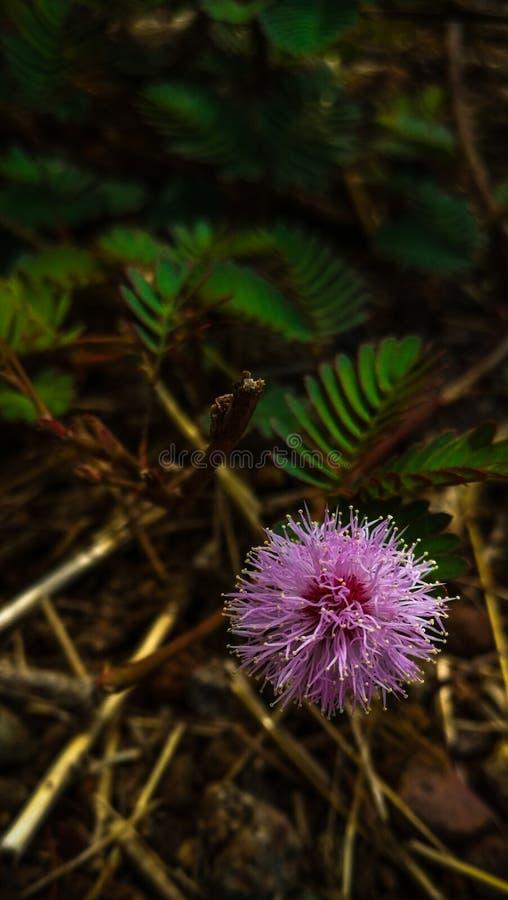 Aantrekkelijke bal gevormde bloem van de schuwe installatie stock foto's