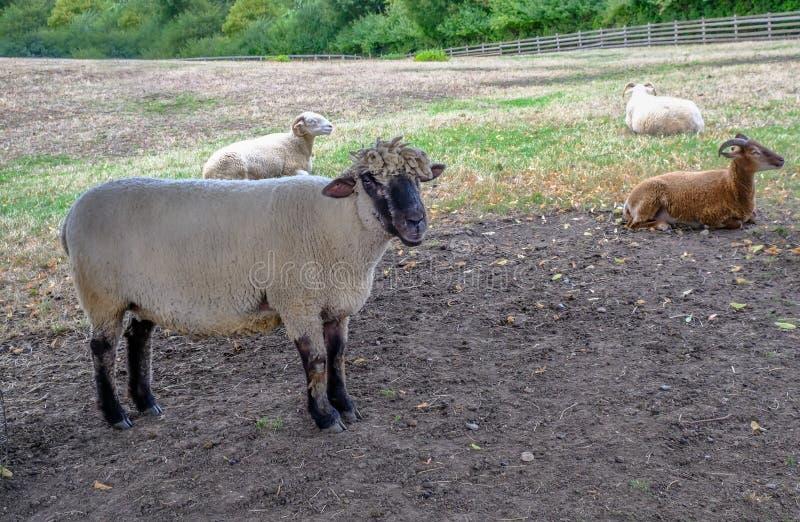 Aantrekkelijke schapen die zich op een gebied bevinden die de camera onder ogen zien stock afbeeldingen