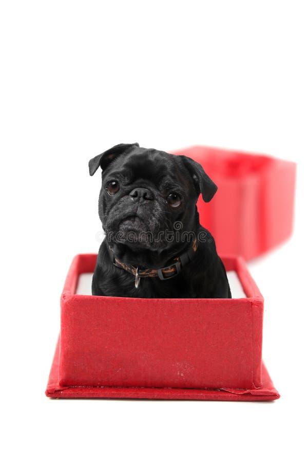 Aanwezige Pug royalty-vrije stock afbeelding