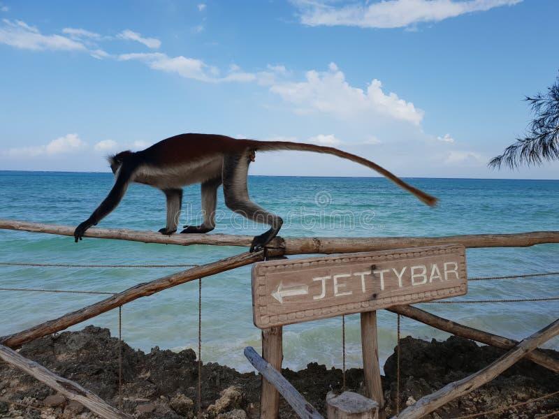 aap bij de bar stock afbeelding