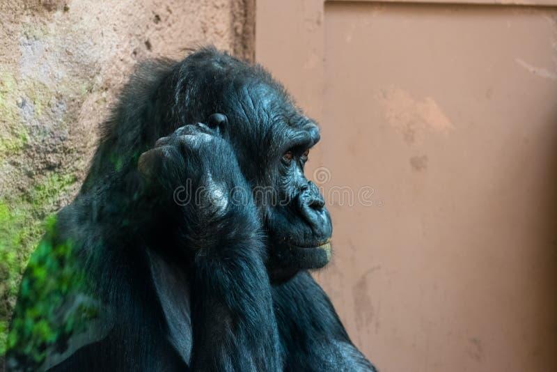 Aap bij de dierentuin royalty-vrije stock afbeelding