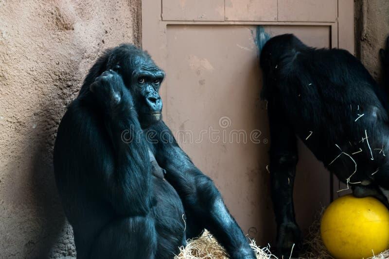 Aap bij de dierentuin stock foto