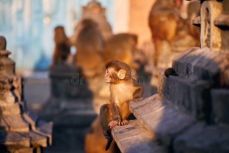 aap in boeddhistische tempel stock fotografie