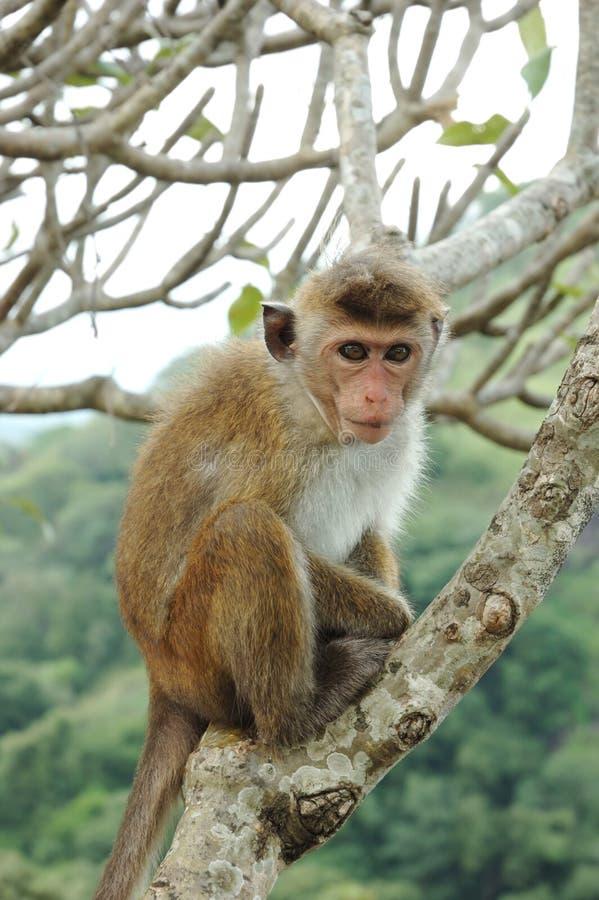 Aap - Bonnet Macaque (radiata Macaca) stock foto