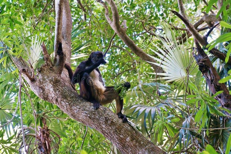 Aap boven een boom royalty-vrije stock afbeeldingen