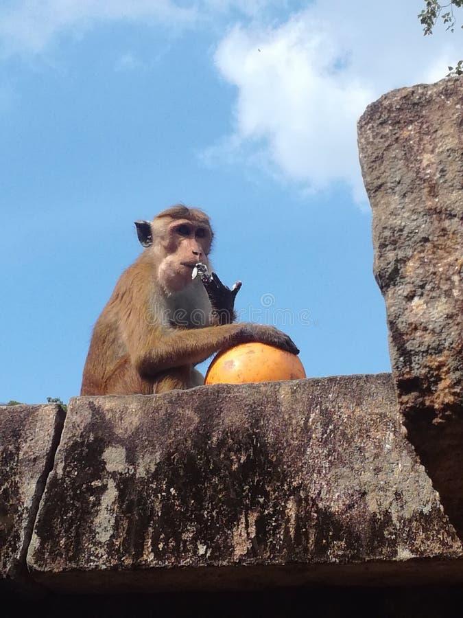 Aap die een kokosnoot in Shiva-tempel, Sri Lanka eten stock foto's