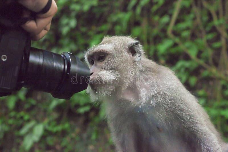 Aap die lens van camera onderzoeken royalty-vrije stock afbeeldingen