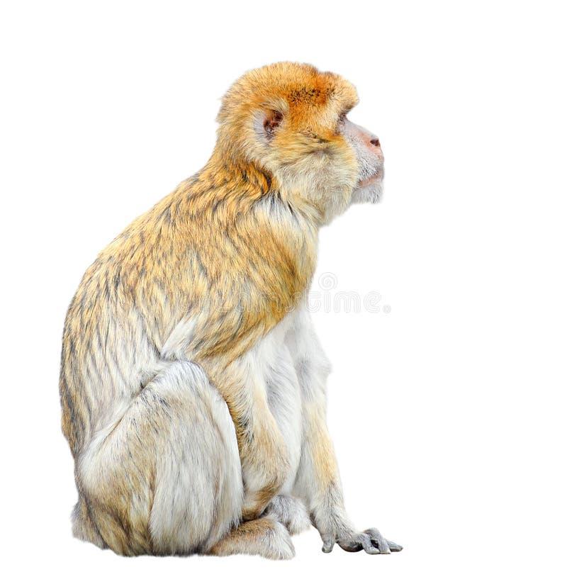 Aap die op witte achtergrond wordt geïsoleerde Grappige dichte omhooggaand van Barbarije macaque royalty-vrije stock afbeelding