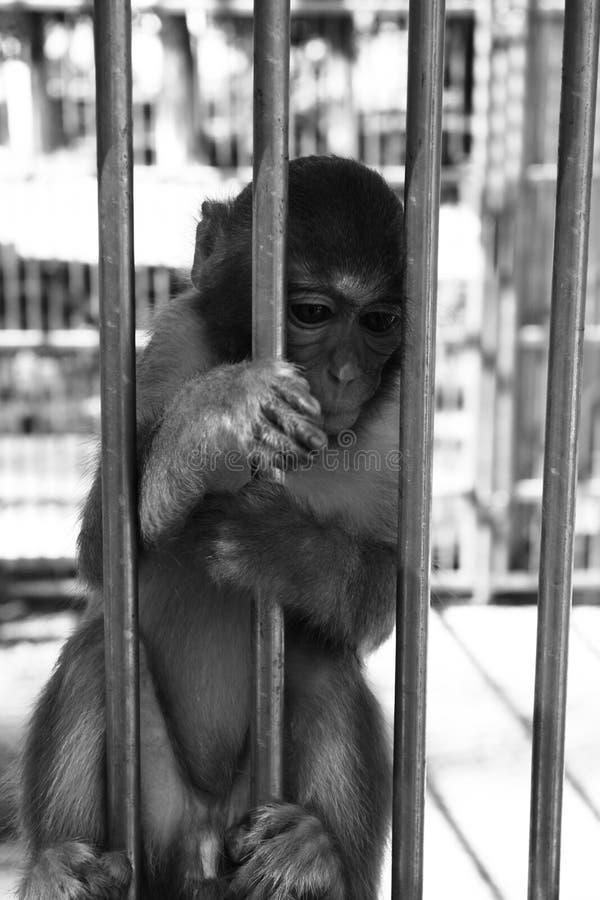 Aap in dierentuin royalty-vrije stock afbeelding