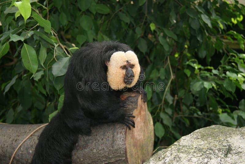 Aap in een dierentuin royalty-vrije stock foto's