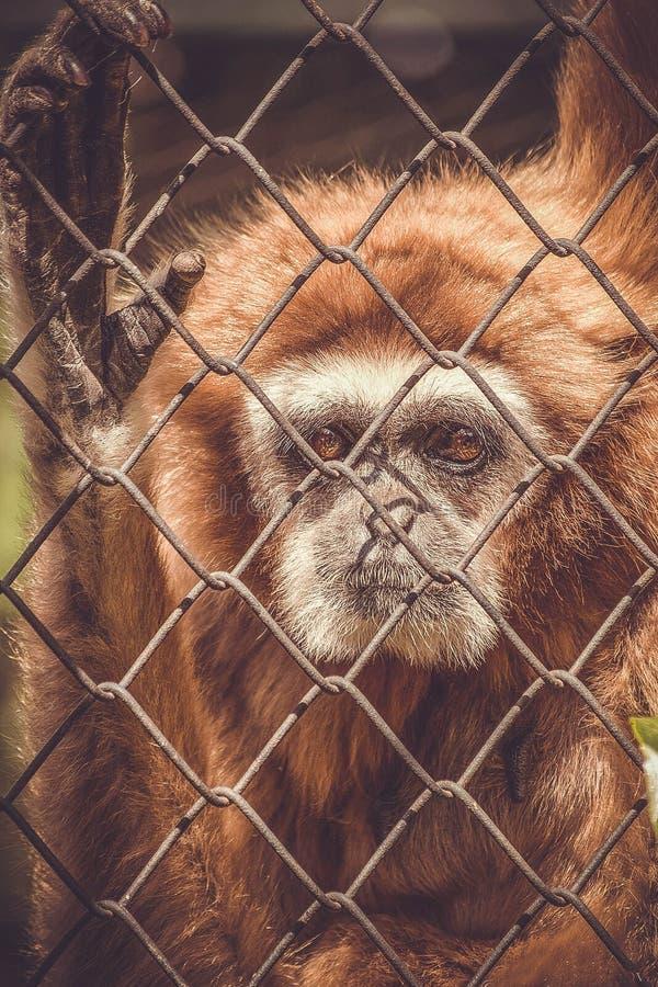 Aap in een dierentuin achter de tralies stock afbeelding