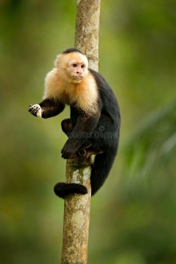 Aap het voeden banaan White-headed Capuchin, zwarte aapzitting op boomtak in het donkere tropische boswild van Costa R royalty-vrije stock foto's