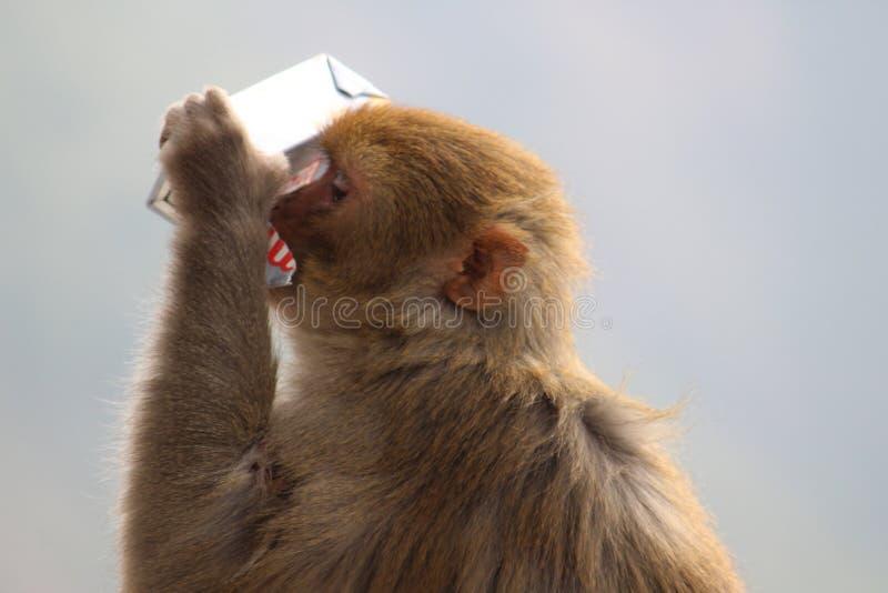Aap hoe zoekend voedsel en een beetjewater stock foto