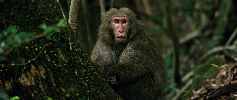 Aap Japanse macaque stock afbeelding