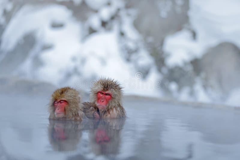 Aap Japanse macaque, Macaca-fuscata, familie met baby in het water, rood gezichtsportret in het koude water met mist, twee dierli royalty-vrije stock foto