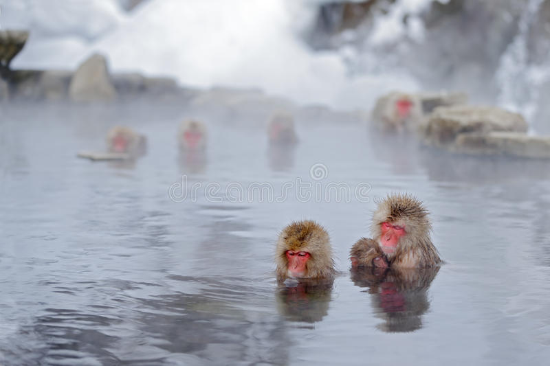 Aap Japanse macaque, Macaca-fuscata, familie met baby in het water, rood gezichtsportret in het koude water met mist, twee dierli stock fotografie