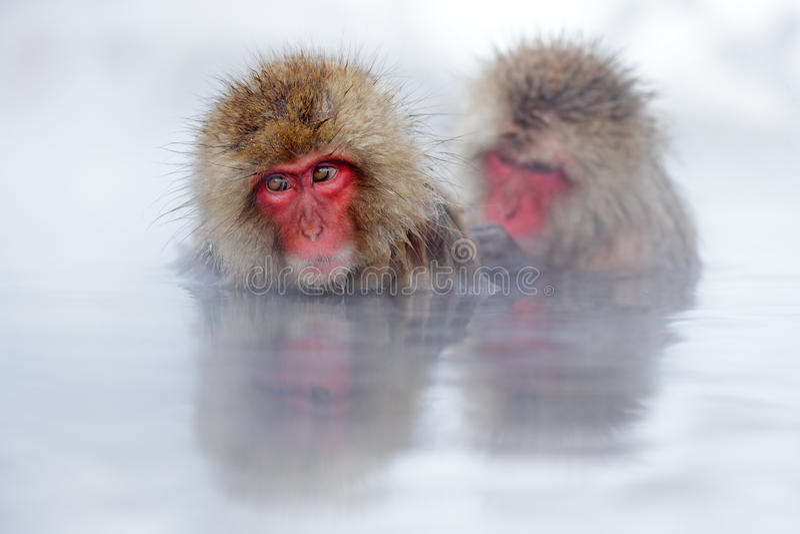 Aap Japanse macaque, Macaca-fuscata, rood gezichtsportret in het koude water met mist, twee dier in de aardhabitat, Hokkaido, royalty-vrije stock afbeeldingen