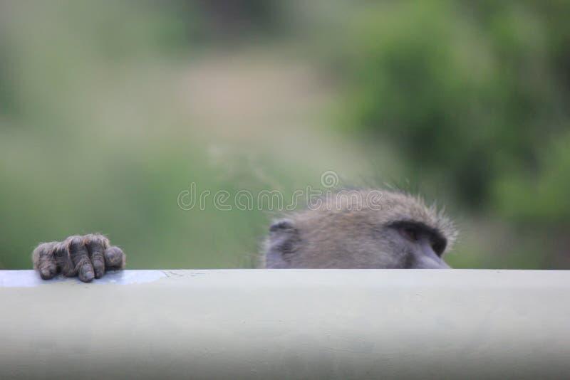 Aap in Kruger-Park stock afbeeldingen