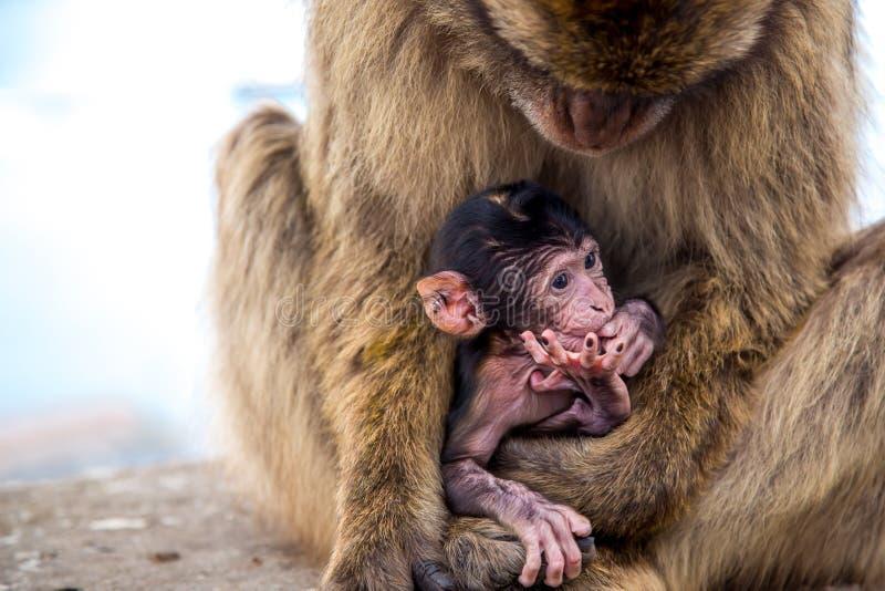 Aap met baby op de rots van Gibraltar stock foto
