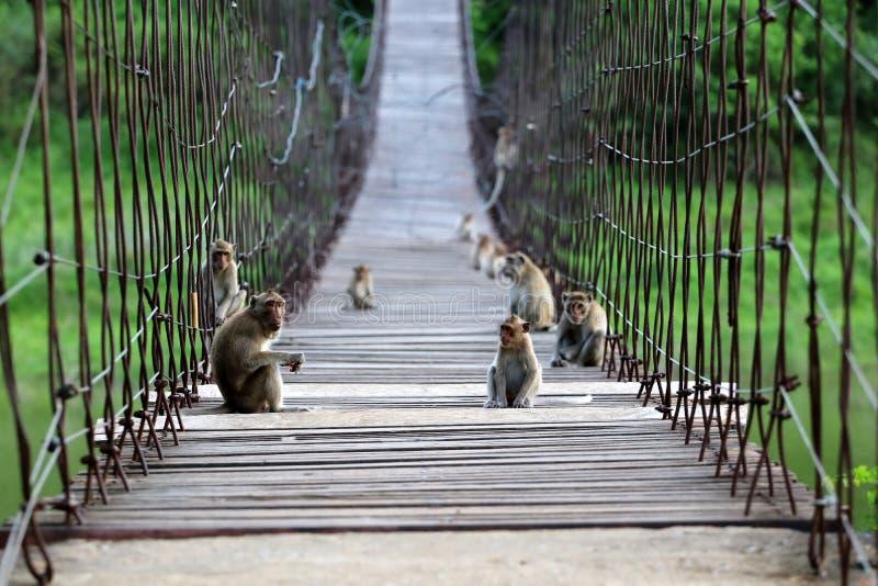 Aap met lange staart of krab-Etende macaque zitting op oude sus stock afbeeldingen