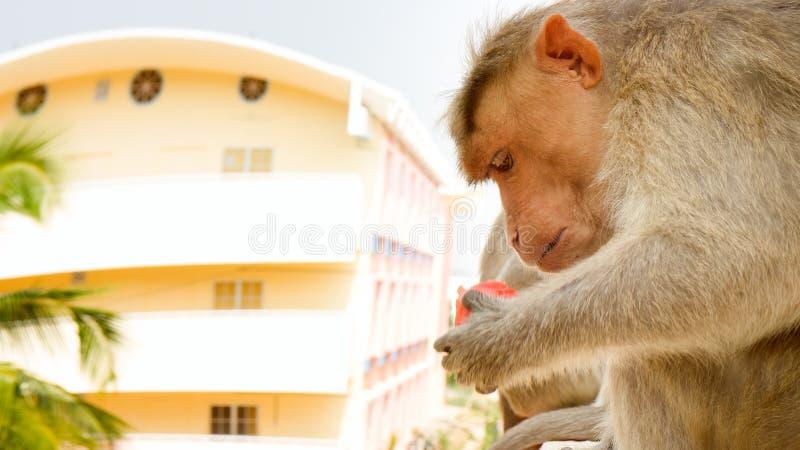 Aap op richel van de bouw met meerdere verdiepingen 5 Probleem van het naast elkaar bestaan van mensen en dierenbionomics stock afbeelding