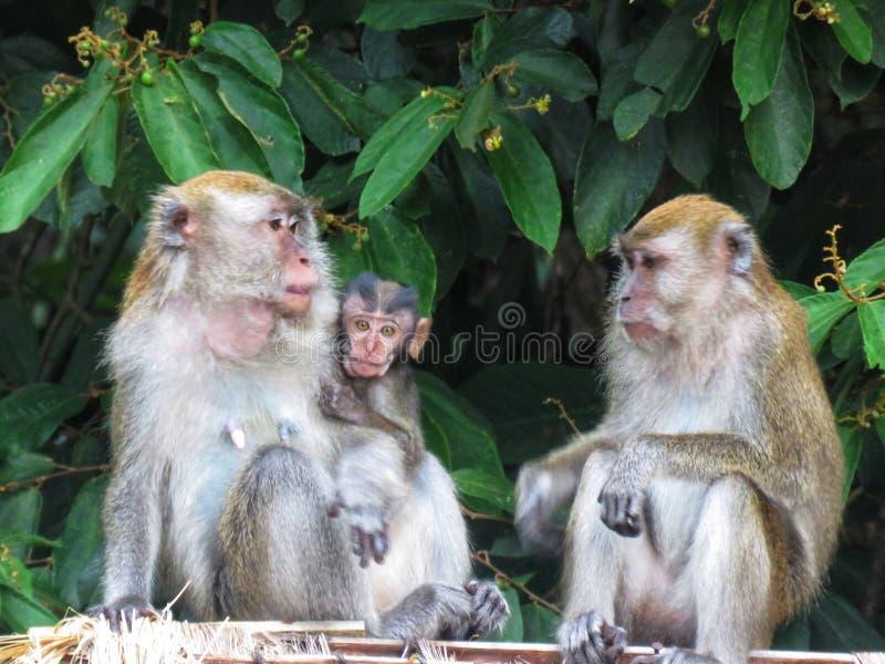 Aap /Primate/Apen in het wild/Krab die macaque eten royalty-vrije stock afbeelding