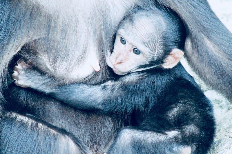 Aap van baby de Kuif zwarte macaque stock foto's