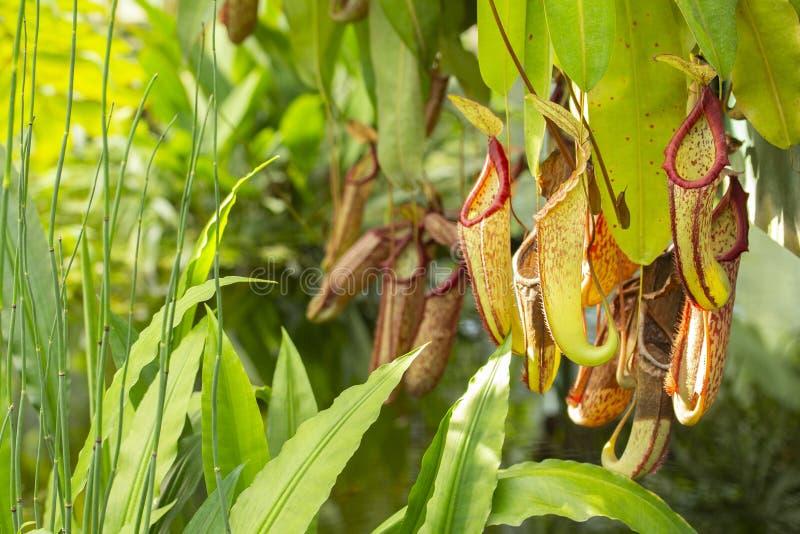 Aap van de Nepenthes vormt de Roofzuchtige vleesetende installatie Nepenthes, groene rode kruikwaterkruik voor het verzamelen van stock afbeeldingen