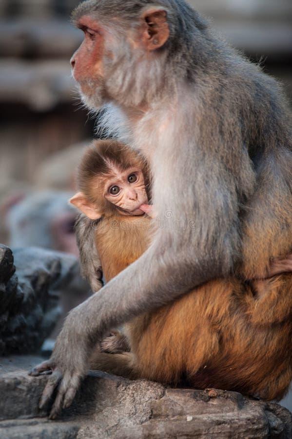 Aapmoeder die haar baby de borst geven dichtbij de tempel in Katmandu, Nepal Apen in Katmandu nepal Een kleine leuke aap nepal stock foto's