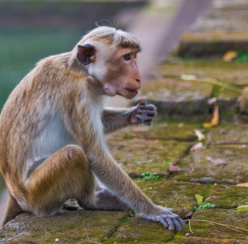 aapzitting op een ruïnesdeel van Polonnaruwa-La van Sri van de stadstempel stock foto