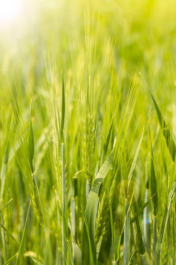 Aar van gerst op een verticale graangewassengebied met een zonnestraal en een gloed, Groene heldere zonnige rijpe oren van de ger royalty-vrije stock foto's