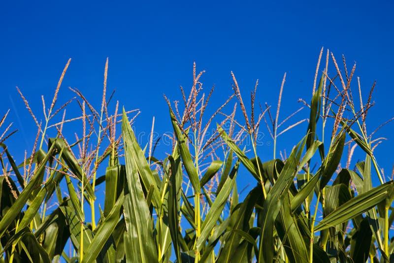 Aar van graan en blauwe hemel stock fotografie