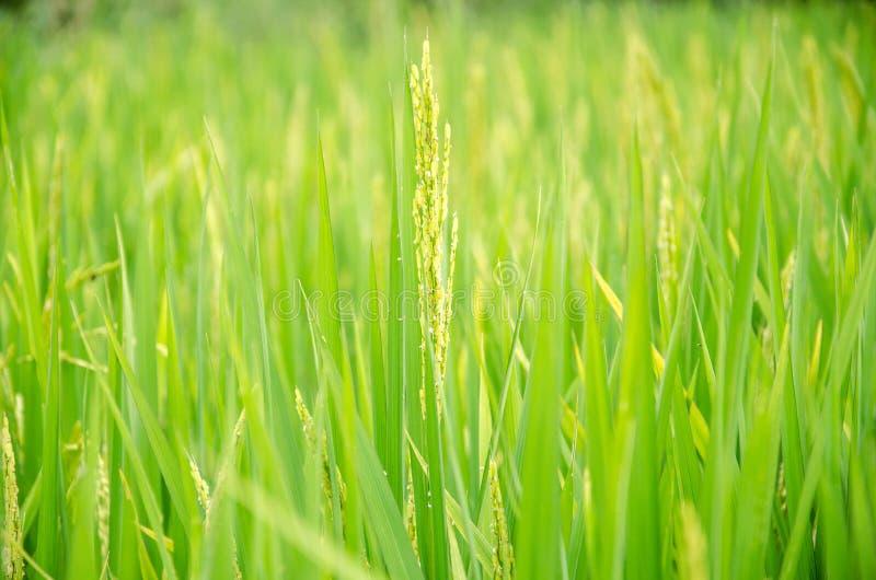Aar van rijst stock afbeeldingen