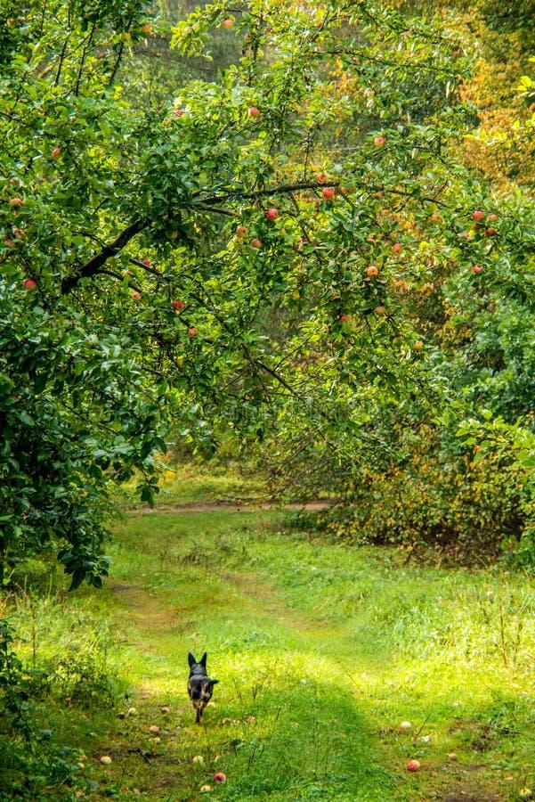 Aard in daling, appelboom en hond het lopen stock afbeelding