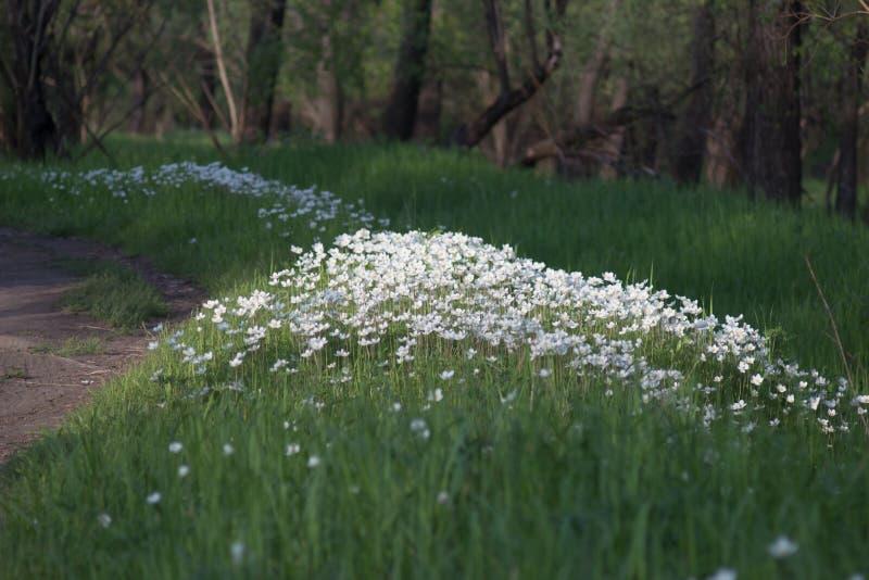 Aard, de Lente, Anemoonsylvestris, tuin stock afbeelding