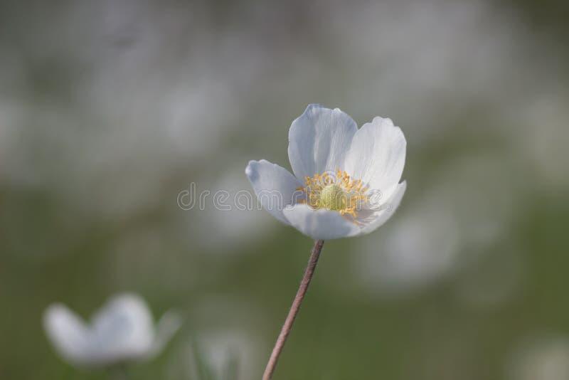 Aard, de Lente, het close-up van Anemoonsylvestris stock afbeelding