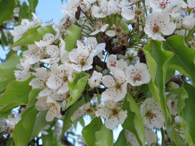 Aard in de Stad: De zoete witte bloemen van de kersenbloesem in bloei, Vancouver, Mei 2018 royalty-vrije stock afbeeldingen