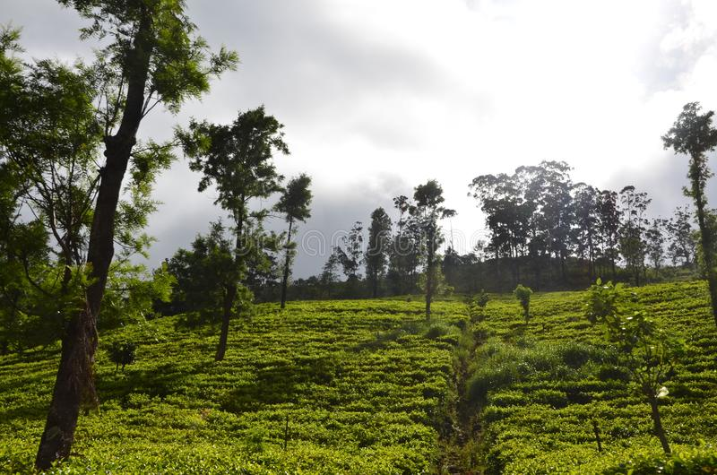 Aard en de Staat van de bergthee in Sri Lanka stock foto