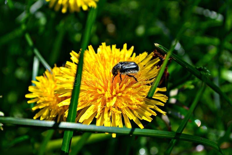 aard, paardebloemen, gras, bloemen, de zomer, open plek royalty-vrije stock foto's