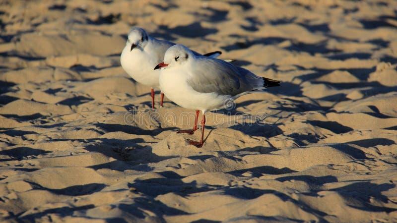 Aard Twee Zeemeeuw op Gouden Sandy Beach Freedom Of Life royalty-vrije stock afbeelding