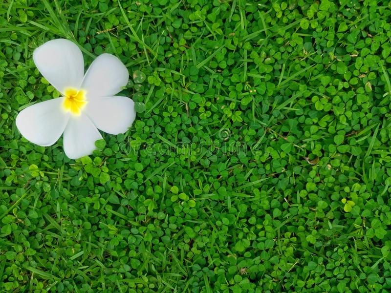 Aard van Witte Plumeria-bloem royalty-vrije stock foto