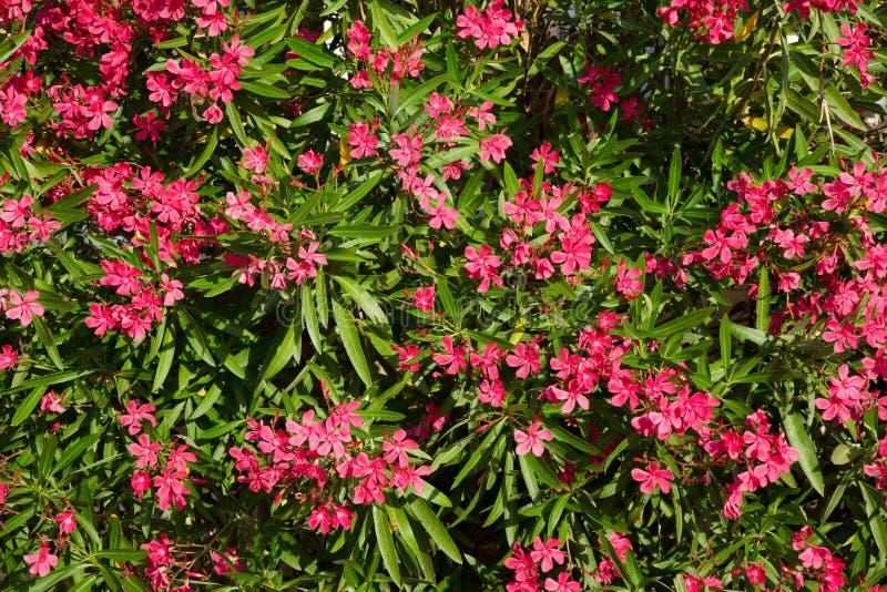 Aardachtergrond met Roze Bloemenoleander royalty-vrije stock foto