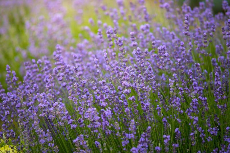Aardachtergrond van de verse gebieden van de Lavendelbloem royalty-vrije stock afbeeldingen
